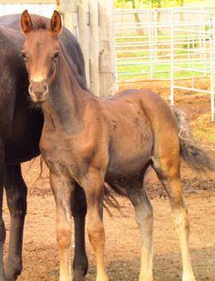 CFR Country Bling 2015 Black Morgan Colt www.coyoteflatranch.com Saskatchewan Canada, Morgan Horse, Dressage, Animals And Pets, Ranch, Bling, Horses, Flat, Country