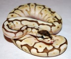 Butter Spider Ball Python Python Royal, Pretty Snakes, Beautiful Snakes, Cute Reptiles, Reptiles And Amphibians, Snake Breeds, Reticulated Python, Burmese Python, Ball Python Morphs