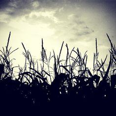 #corn #silhouette #farm #farming #crops #cashcrop #sky #clouds #field #norfolkcounty #norfolk #ontario #canada