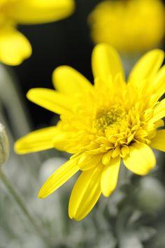 Euryops #yellow #daisy #flower #flowers #plant  Per scoprirne di più http://viridea.it/consigli/arbusti/euryops-pectinatus/