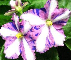 African Violet Chimera - Moonbeams