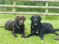 My two Labs do so well on F4D complete salmon and they love it. I also add SOS salmon oil which makes their coats gleam and helps with Reggie's juvenile arthritis. They lick their bowls clean and then swap in case some little morsel was overlooked!