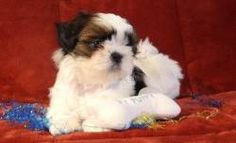 gtrytryrty Shih Tzu puppies for sale Now.. | Shih-Tzu Puppy in Denver CO | 4195422817 | Dogs on Oodle Marketplace