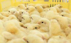 Die auch von österreichischem Steuergeld getragene Förderbank EBRD schickt sich an, einen Massentierhalter in Weißrussland zu finanzieren. Dieser verletzt jedoch die bankeigenen Tierschutz-Richtlinien.