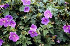 """Geranium """"Johnsons Blue""""      Cracking little perennial plant that you can keep digging up and dividing forever."""
