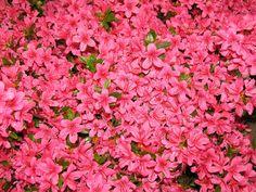 azalea-rhododendron-pink-bush-flowers.jpg (1600×1200)