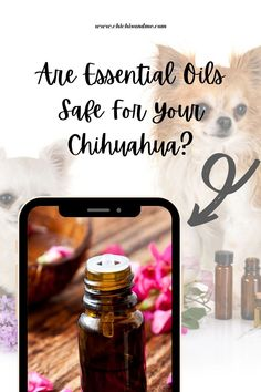 The trend these days is to go natural when it comes to health. Not just for people, but for their pets and their Chihuahuas too. Why are they used and are they safe for your Chihuahua (pet)? #chihuahuacare, #chihuahuapuppies, #seniorchihuahua, #chihuahuadogs, #chihuahuamix, #chihuahuafacts, #chihuahualifesty, #chihuahuaarticles, #chihuahuahelp, #chiwawa, #chihuahuahealthissues, #chihuahuaproblems, #chihuahuawebsite, #chihuahuabehaviorissues #chi Chihuahua Facts, Chihuahua Puppies, Chihuahuas, Are Essential Oils Safe, Chiwawa, Going Natural, Aromatherapy, Conditioner, Things To Come