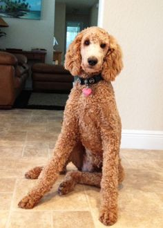 standard poodle cut types - Google Search