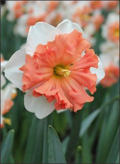 """Narcissus Shrike - A split cup daffodil , also called a """"butterfly daffodil"""" for the shape the ruffles cup makes against the gleaming white petals.  Deer and rabbit resistant as it is lovely!"""