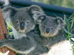 Plan to build in critical koala habitat sparks local anger as developer challenges council rejection - ABC News Zoo Tickets, Zoo Keeper, Quokka, Australian Animals, Habitats, Safari, Wildlife, Sydney Australia, Australia Tours