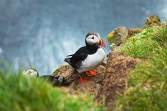The Faroe Islands are also full of super-cute Atlantic puffins. | 29 Reasons Why The Faroe Islands Should Be On Your Bucket List