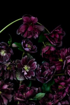 The Masters - Helebores Dark Flowers, Burgundy Flowers, Beautiful Flowers, Lilies Of The Field, Bridal Bouquet Fall, Beach Gardens, White Peonies, Flower Farm, Flower Wallpaper
