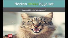 Stress bij katten herkennen | Kat blijft miauwen