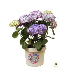 Great Hortensie uDiva Fiore u Blau