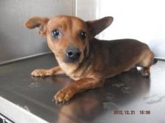 I need a forever home and a family to love! A18775979: Dachshund, Dog; Waco, TX Humane Society of Central TX (254) 754-1454