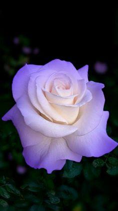 Flowers Purple Roses New Ideas Beautiful Rose Flowers, Beautiful Flowers Wallpapers, Flowers Nature, Exotic Flowers, Amazing Flowers, Pretty Flowers, Rose Violette, Rosa Rose, Hybrid Tea Roses