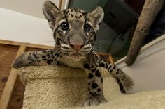 Clouded leopard, yes please