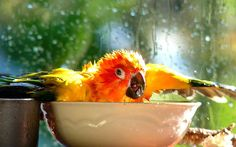 """I'm Singing In The Rain..!!! - Sun Conure - NZ"" by AndreaEL 