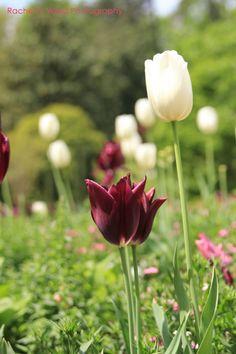 Tulip Flowers at Duke Gardens   Rachel C Ward Photography rachelcwardphotography@gmail.com