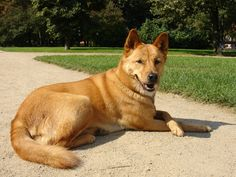 If you are planning to take a wild dog as your loyal companion, then the Carolina dog breed is just perfect. They are warm, friendly, and great with children. DogAppy gives you more information on this particular breed. Unique Dog Breeds, Rare Dog Breeds, Animals And Pets, Cute Animals, Wild Animals, Dingo Dog, Teach Dog Tricks, Led Dog Collar, Irish Terrier