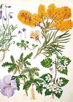 Vintage Flowers Prints Wattle australian botanicals