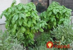 I LOVE Basil.great growing info with a basic pesto recipe. Permaculture, Basil Plant, Balcony Plants, Organic Seeds, Replant, Medicinal Herbs, Plant Care, Korn, Herb Garden