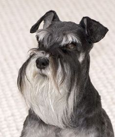 ▷ 🐺 Schnauzer corte de pelo paso a paso ✔️ Miniature Schnauzer Puppies, Schnauzer Puppy, Schnauzer Grooming, Robot Animal, Miniatures, Long Hair Styles, Animals, Image, Google Search