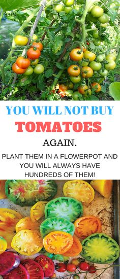 Growing tomatoes in pots is one way to enjoy fresh tomatoes, even if you've never gardened before! Fresh tomatoes are becoming more expensive in stores, at farmer's markets, and vegetable stands. B…