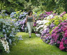 Arbustes et vivaces pour bordures sans entretien - Hortensias : toujours à l'ombre légère