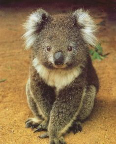 Koala one of our best loved animals Baby Animals, Funny Animals, Adorable Animals, Wild Animals, Beautiful Creatures, Animals Beautiful, Baby Koala, Koala Bears, Photo Chat