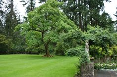 ... Paulownia tomentosa in a lawn | by KarlGercens.com GARDEN LECTURES