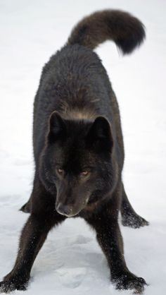 Ready to play. Black wolves. Beautiful creatures.