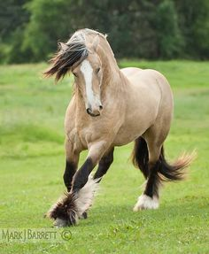 8674-31v.jpg :: Gold buckskin Gypsy Vanner Horse stallion