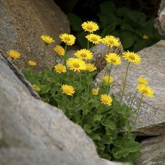 Grow your own arnica to make a simple salve for soothing sore muscles, bruises, and osteoarthritis pains.