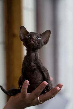 """* * CORNISH REX: """" Whys does me thinks me be reincarnated? Everytimes me eatz chicken; me eatz it wif meez paws, like in de olden days. I Love Cats, Crazy Cats, Cool Cats, Devon Rex, Beautiful Cats, Animals Beautiful, Cornish Rex Kitten, Baby Animals, Cute Animals"""