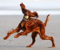 Having Fun at the Beach! Red Setter by Shane Mullen, via Flickr