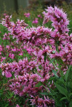 Plant Growers Australia Pty Ltd  agastache candy pink fiesta