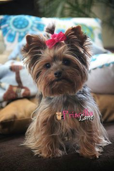Priscilla - missing her boys, Nason and Maxwell ! Biewer Yorkie, Yorkie Puppy, Cute Puppies, Cute Dogs, Yorkie Haircuts, Baby Animals, Cute Animals, Yorshire Terrier, Puppies