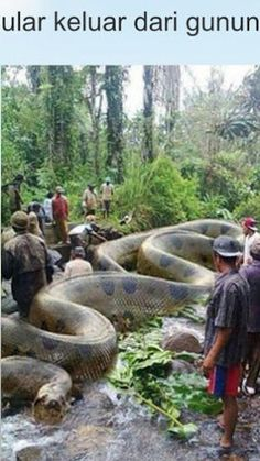 this, is real. they, found it in Indonesia; he is the biggest snake captured on record.