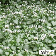 Great groundcover for shade, can be invasive but great for dry shady areas - White Lamium