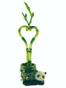 Betterdecor- 1 Pair of 6 Inches Heart-Shaped Lucky Bamboo in a Lovely Panda Ceramic Vase for Feng Shui or Gifts Lucky Bamboo Plants, Tropical Plants, Ceramic Vase, Plant Decor, Feng Shui, Outdoor Gardens, Heart Shapes, Best Gifts, Ceramics