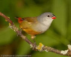 Yellow-bellied Waxbill - east central and south-east Africa