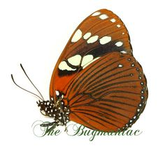 Nymphalidae BG : Euxanthe tiberius UNCOMMON - The Bugmaniac INSECTS FOR SALE BUTTERFLIES FOR SALE INSECTS FOR SALE BUTTERFLIES FOR SALE BUTTERFLIES BY ECOZONE AFROTROPICAL ECOZONE NYMPHALIDAE