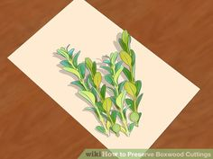 How to Preserve Boxwood Cuttings: 9 Steps (with Pictures)