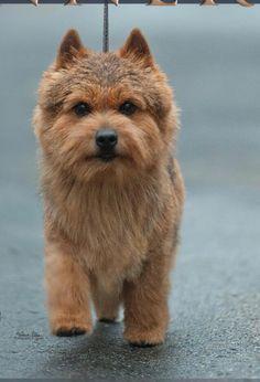 Norwich terrier super!!!