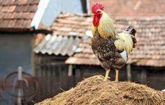 Bloedluizen bestrijden bij kippen