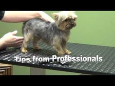 "How to Groom A Yorkshire Terrier ""Yorkie"" (Puppy Cut) - Do-It-Yourself Pet Grooming - YouTube #DogObedienceTipsandAdvice #yorkshireterrier"