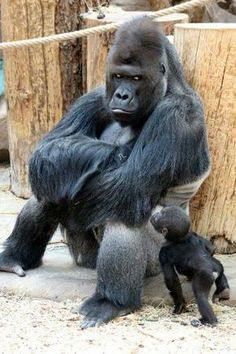 animals wild Richard the gorilla sits in a sulking pose as his newborn son Ajabu tries to get his dads attention at Prague Zoo Zoo Pictures, Funny Animal Pictures, Nature Animals, Animals And Pets, Zoo Animals, Cute Baby Animals, Funny Animals, Newborn Animals, Baby Gorillas