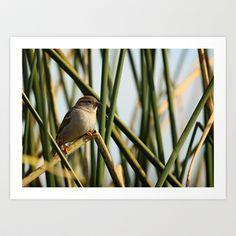 Cattiail Sparrow Art Print by David Cutts - $15.00