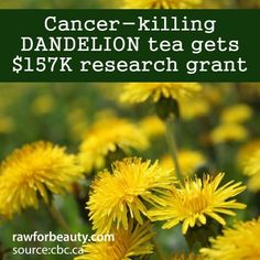 cancer-killing dandelion tea gets $157K research grant | RAW FOR BEAUTY